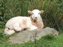 Schafe biss wollig foto