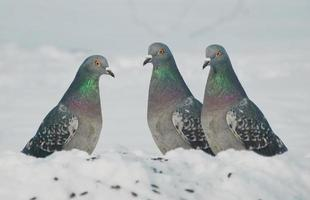 drei Tauben foto