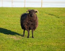 hebridische Schafe