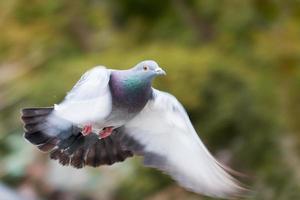 fliegende Taube foto