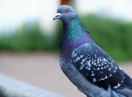 Taube sieht neugierig aus foto
