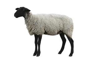 schwarze Schafe mit Weg foto