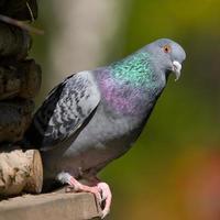 Porträt der Taube foto