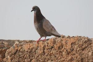 Porträt einer Taube foto