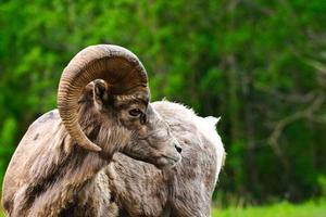 große gehörnte Schafe foto