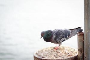 einzelne Taube foto
