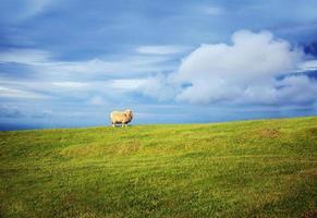 neugierige Blicke - Schafe auf einem Hügel foto