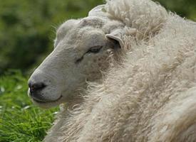 Porträt eines Schafes foto