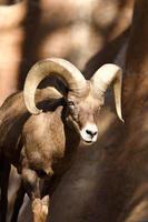 Bir Horn Schaf foto