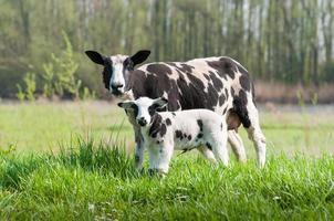 stolzes Mutterschaf mit ihrem neugeborenen Lamm foto