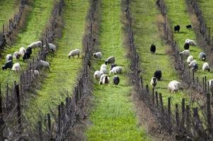 vigne et moutons foto