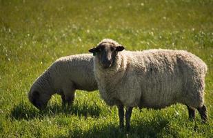Schafe starren