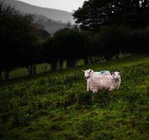 Schafspaar. Herefordshire, Großbritannien foto
