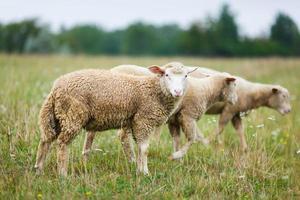 Schafe auf der Wiese foto