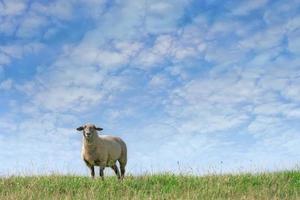 Schafe und bewölkter Himmel foto
