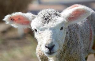 ungepflegtes junges Romney-Lamm mit großen Ohren foto