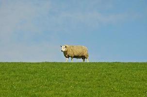 Schafe oben auf dem Damm