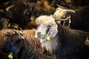 eid al-adha, kurban bayrami - Ziegen auf dem Viehmarkt in Istanbul. foto