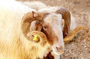 Porträt eines Awassi-Schafes