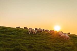 Schafherde auf einem holländischen Deich während des Sonnenuntergangs