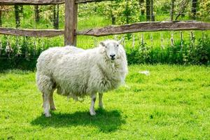 einzelnes Schaf, das Kamera betrachtet