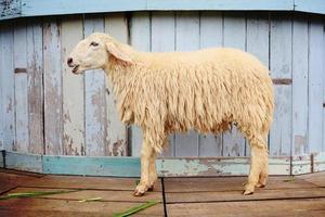 Schafe auf dem Bauernhof foto