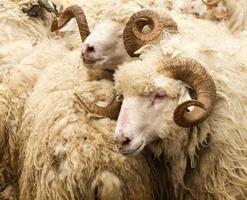 Schafe mit großen Hörnern