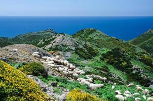 grasende Schafe an der Küste Sardiniens foto