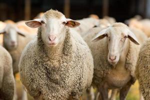 Schafe, die Kamera betrachten foto