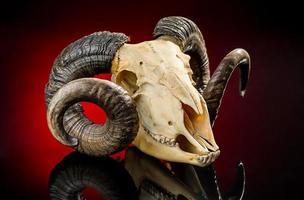 Tierschädel mit großem Horn foto