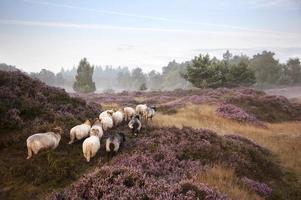 Schafe auf lila blühendem Heidekraut
