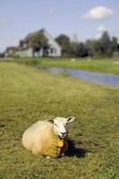 einsame Schafe foto