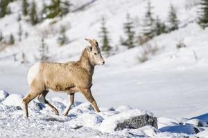 Dickhornschaf aus felsigen Bergen (ovis canadensis) foto