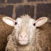 Schafe in der Scheune foto