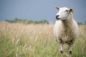 Schafe schauen zur Seite