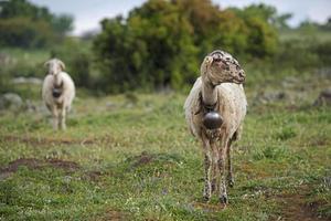 Schafe auf einer Wiese in den Bergen
