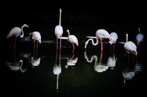 rosa Flamingos und Reflexion im Wasser.