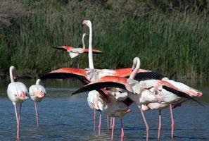 Flamingos im Nationalpark Camague, Frankreich
