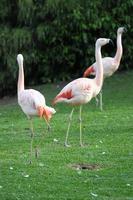 rosa erwachsener Flamingo