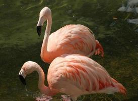 Paar Flamingos