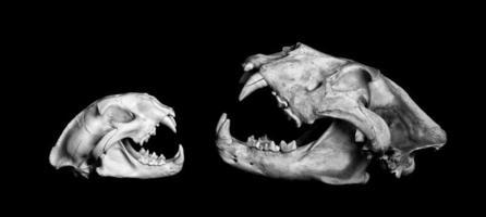 Berglöwe und afrikanischer Löwe.