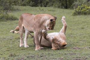 Löwin und junger Löwe spielen foto
