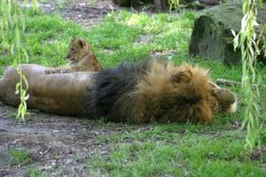 Löwe mit Baby foto