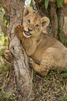 Löwenbaby spielt auf einem Baum foto
