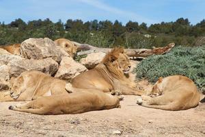 Stolz der Löwen foto