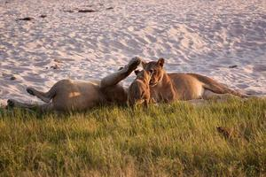Löwinnen spielen mit Jungen foto