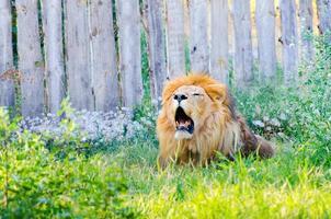 Nahaufnahme des brüllenden Löwen foto