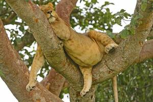 junger männlicher Löwe, der in einem Baum nach einer großen Mahlzeit ruht foto