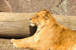 Löwin foto