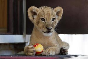 süßes kleines Löwenjunges, das mit einem Ball spielt foto